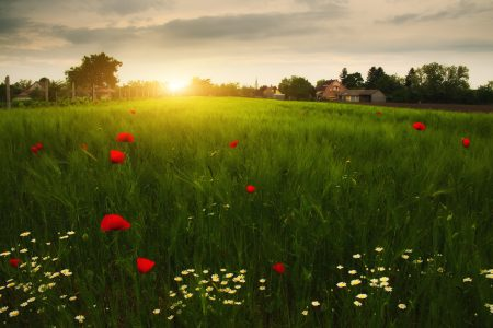 Poppies an daisy flowers on the summer wheat field sunset