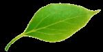 green leaf 600x309